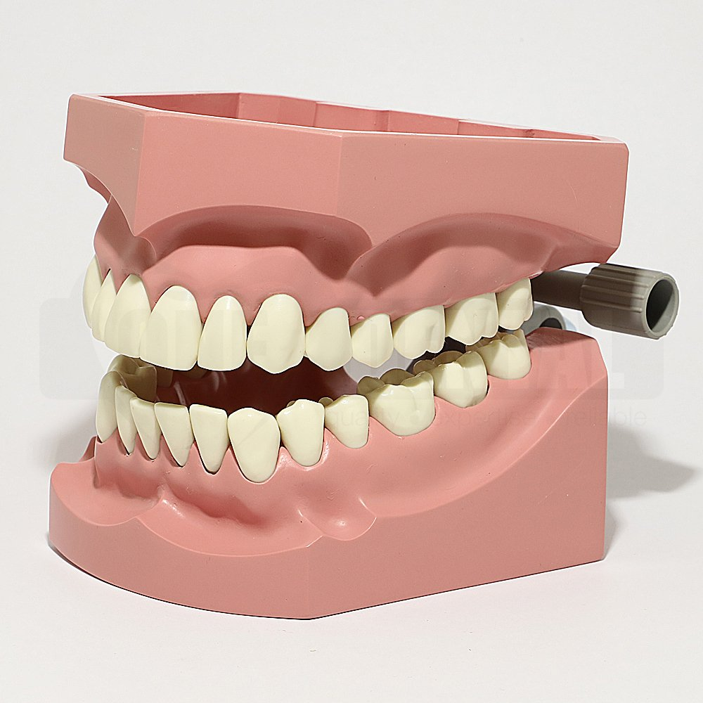 Large Model with removable 32 teeth