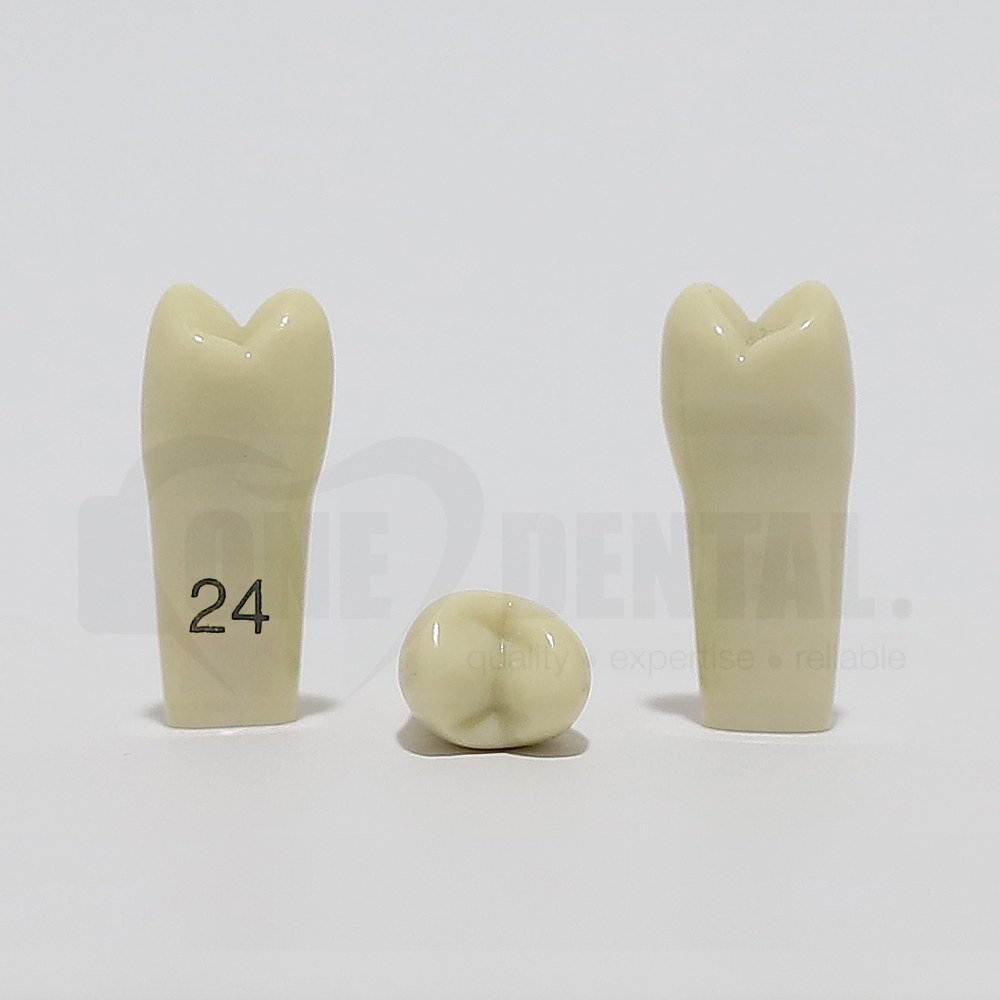 Tooth 24 for 2008 Adult Model