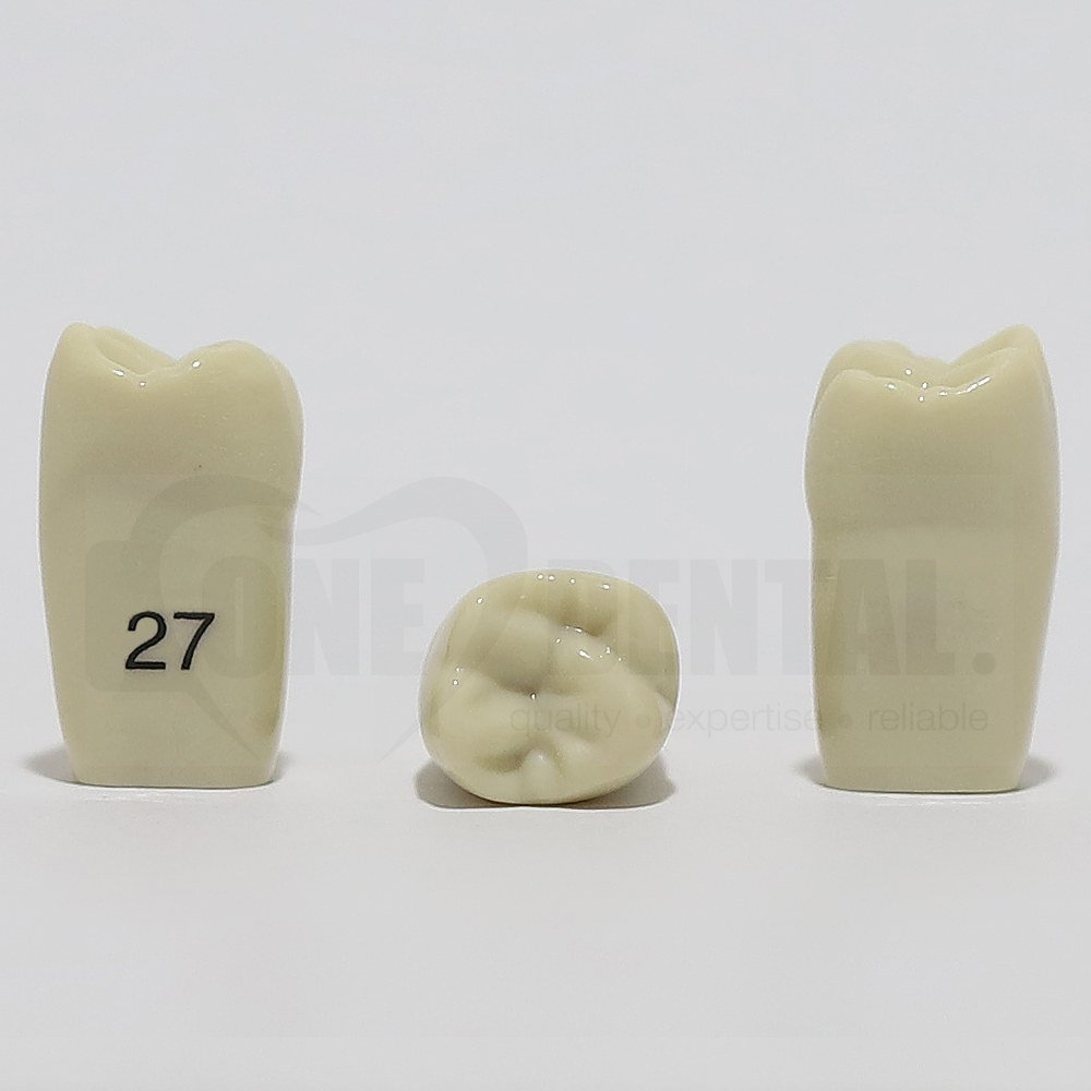 Tooth 27 for 2008 Adult Model