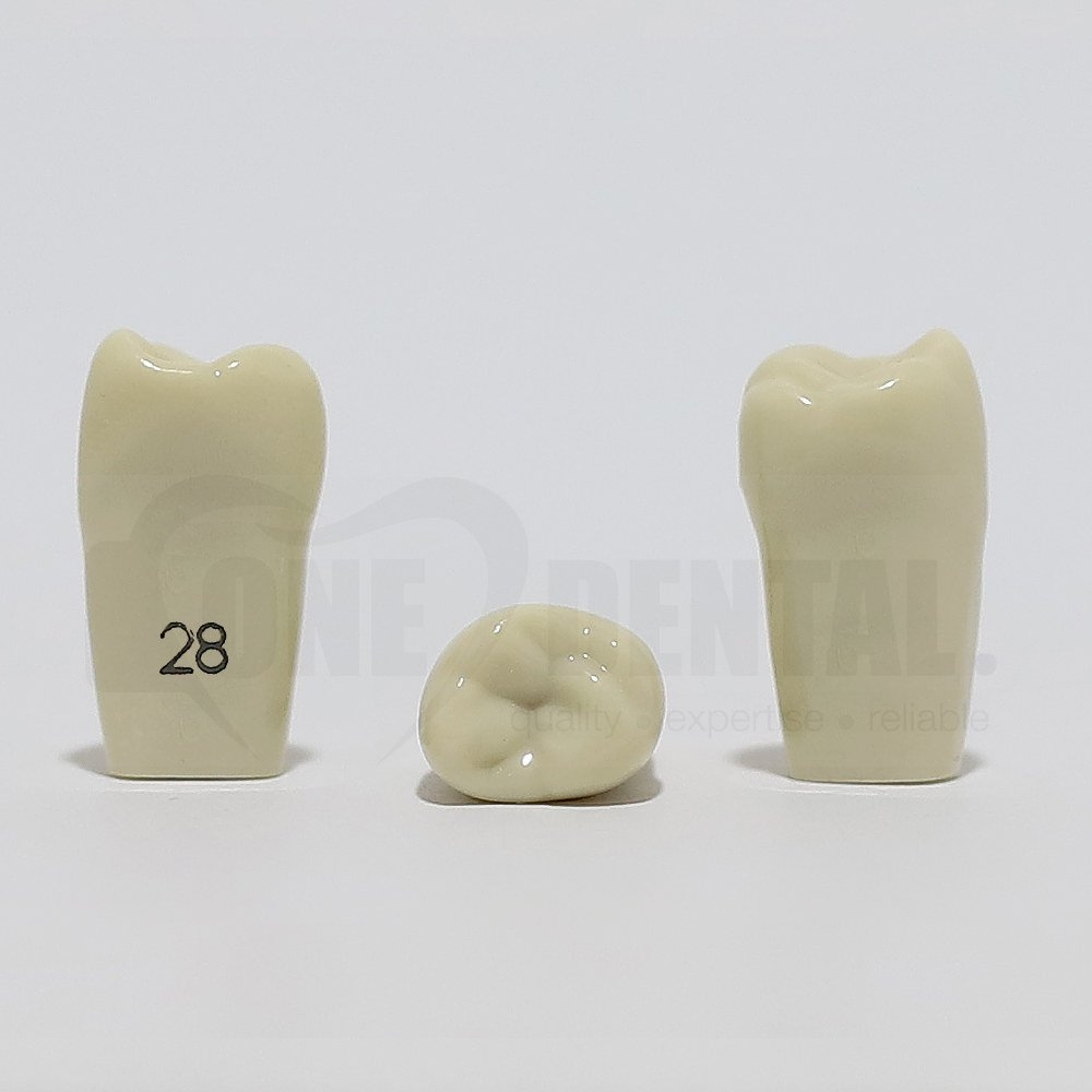 Tooth 28 for 2008 Adult Model