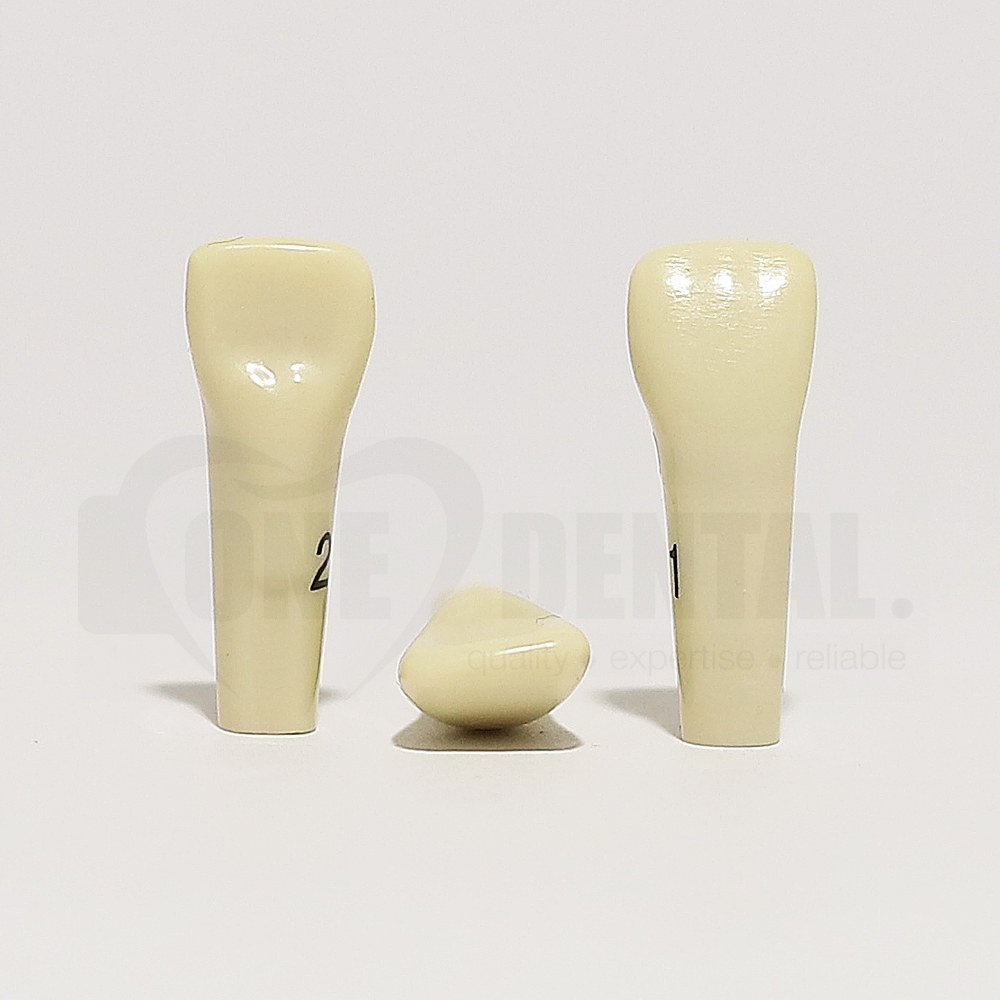 Tooth 21 for 2010 Adult Model