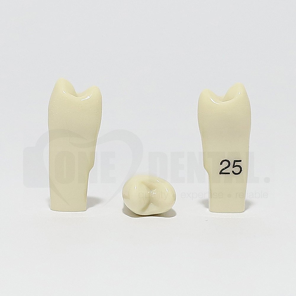 Tooth 25 for 2010 Adult Model