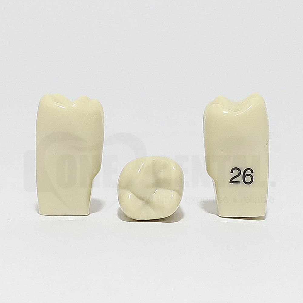 Tooth 26 for 2010 Adult Model