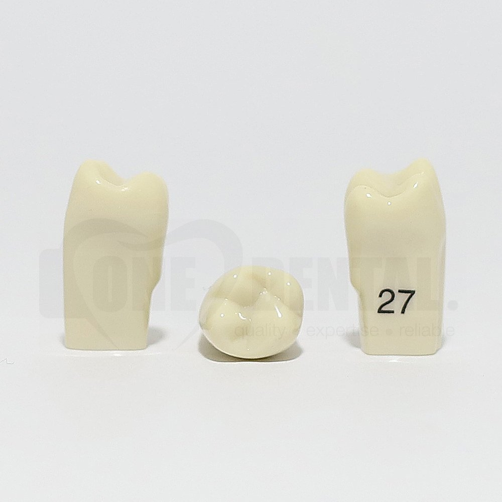Tooth 27 for 2010 Adult Model