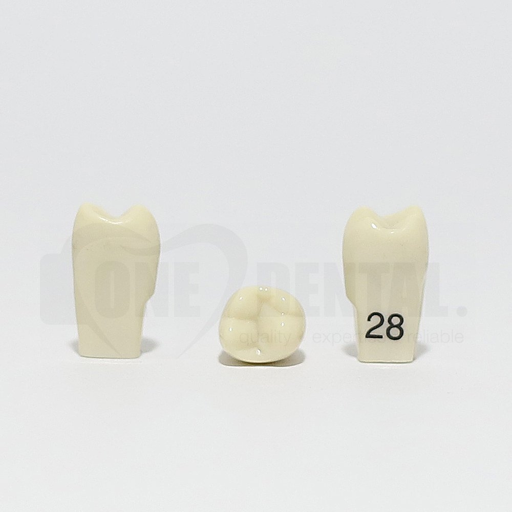 Tooth 28 for 2010 Adult Model