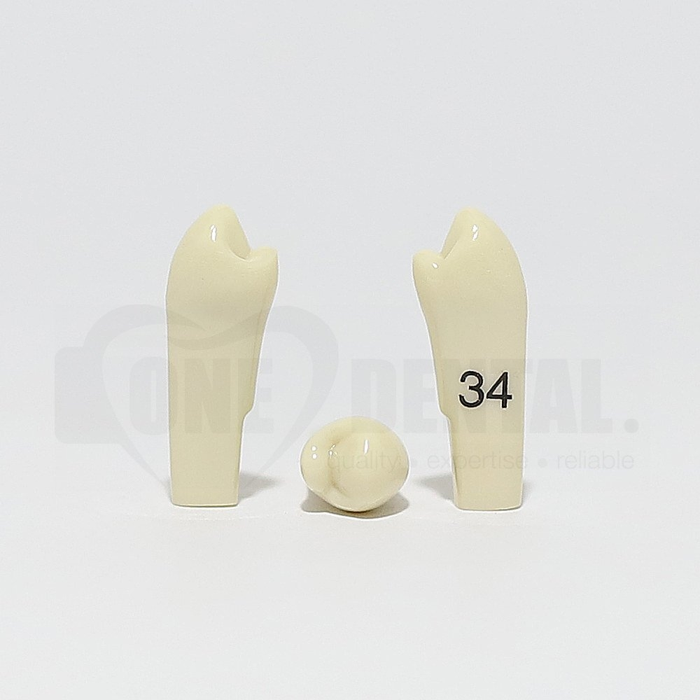 Tooth 34 for 2010 Adult Model