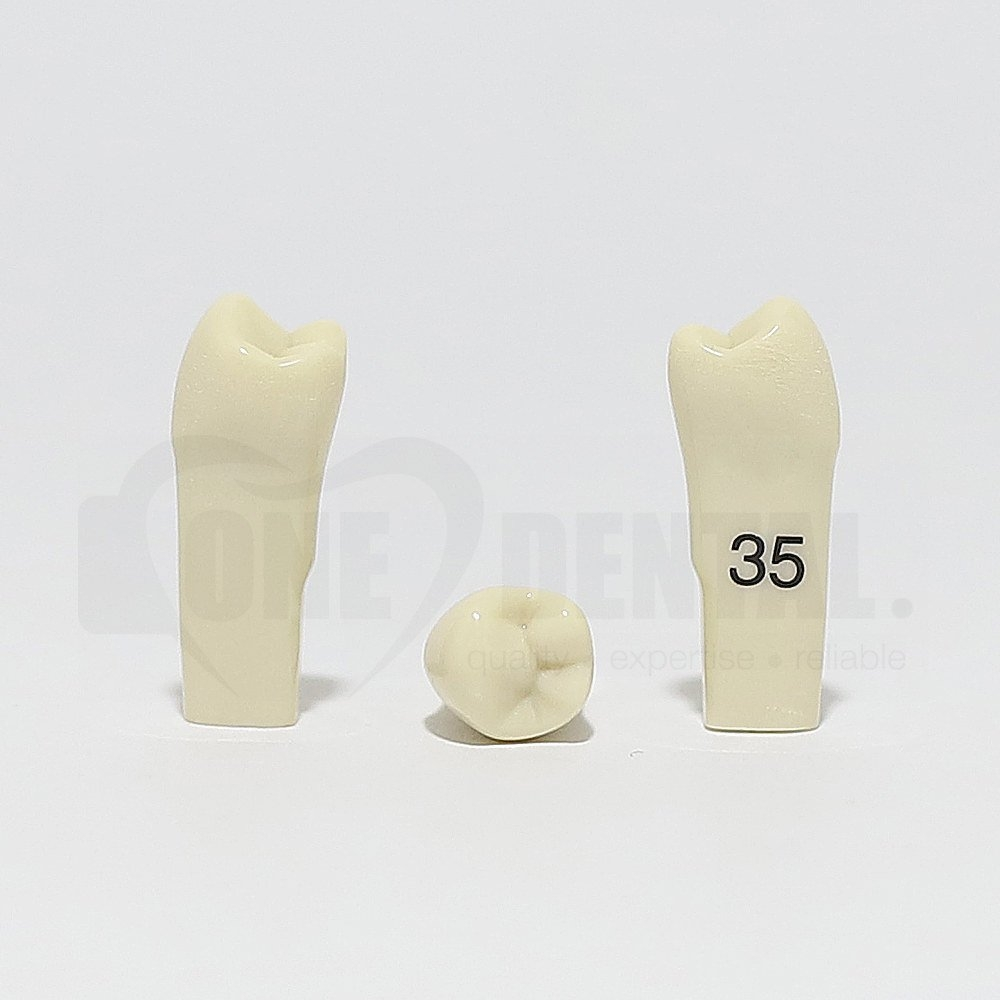 Tooth 35 for 2010 Adult Model