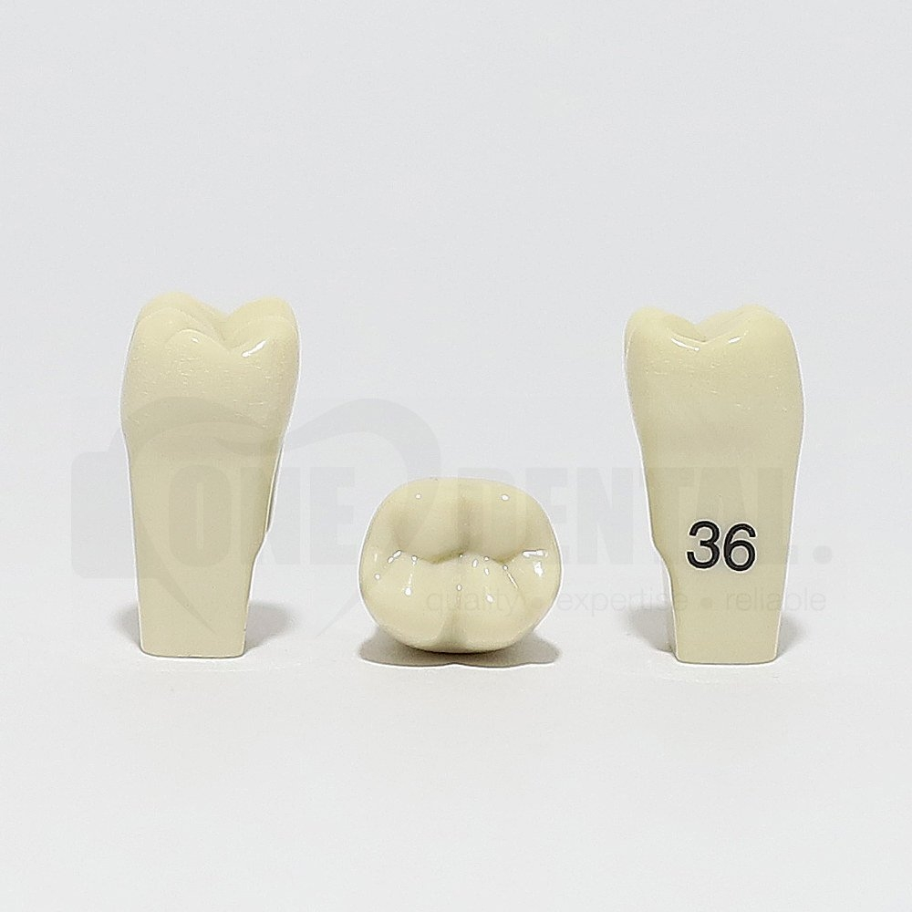 Tooth 36 for 2010 Adult Model