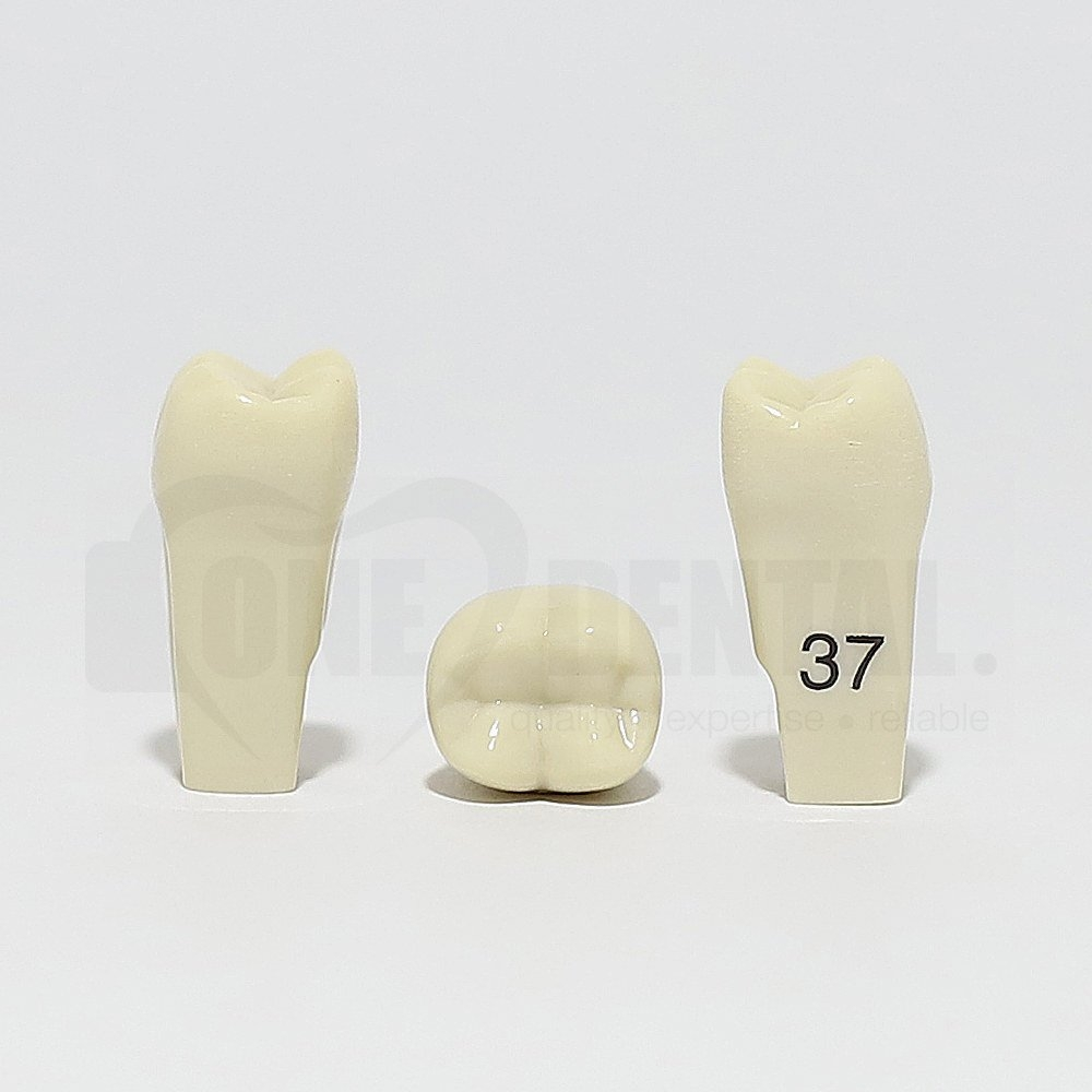Tooth 37 for 2010 Adult Model