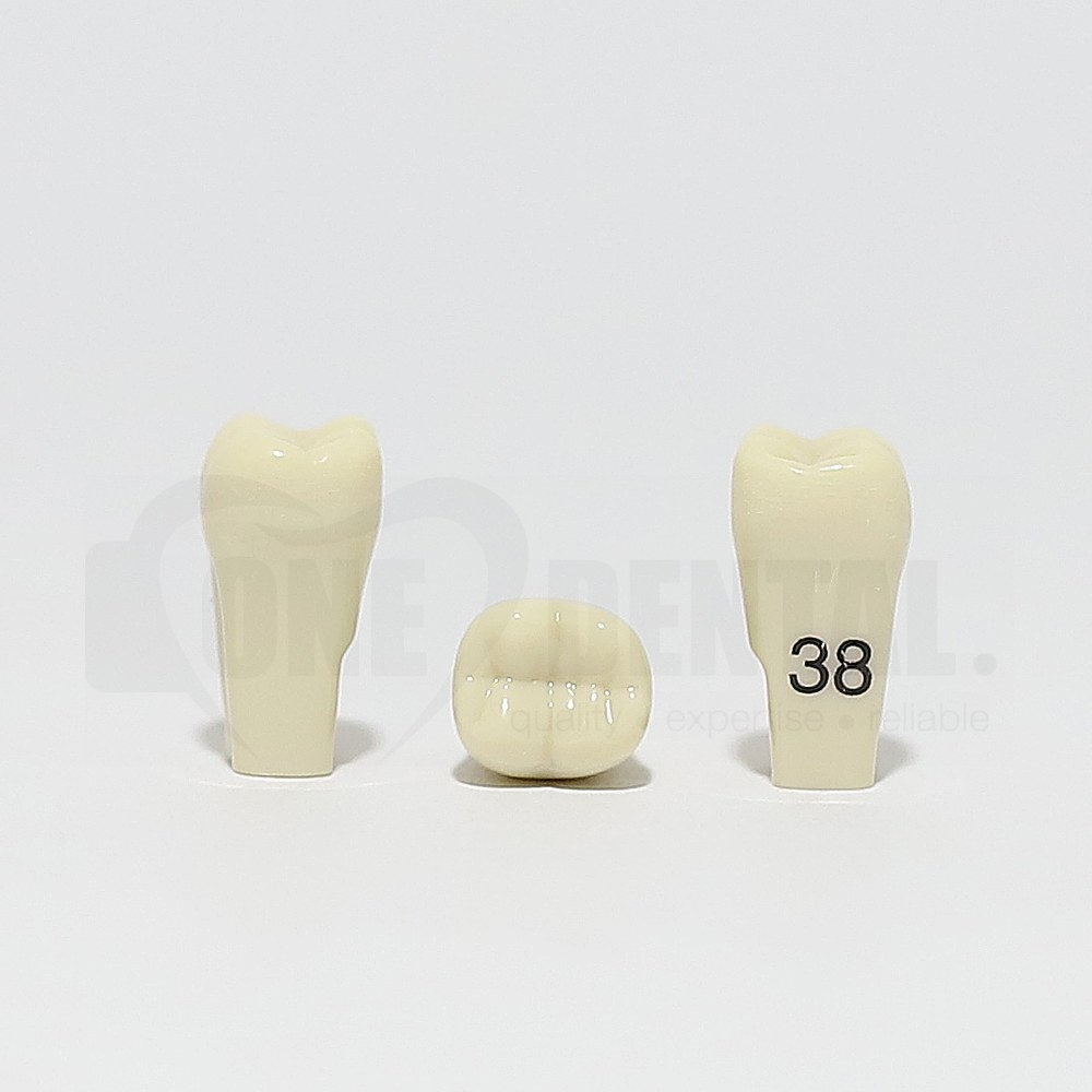 Tooth 38 for 2010 Adult Model