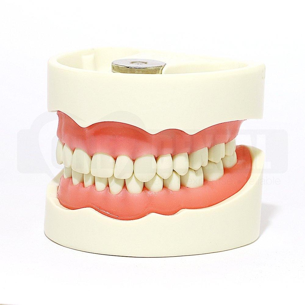 2010 Model MQD 32 Teeth Soft Gingivae