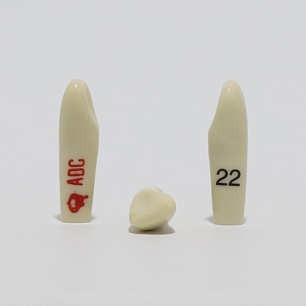 ADC Tooth 22 for ADC Model