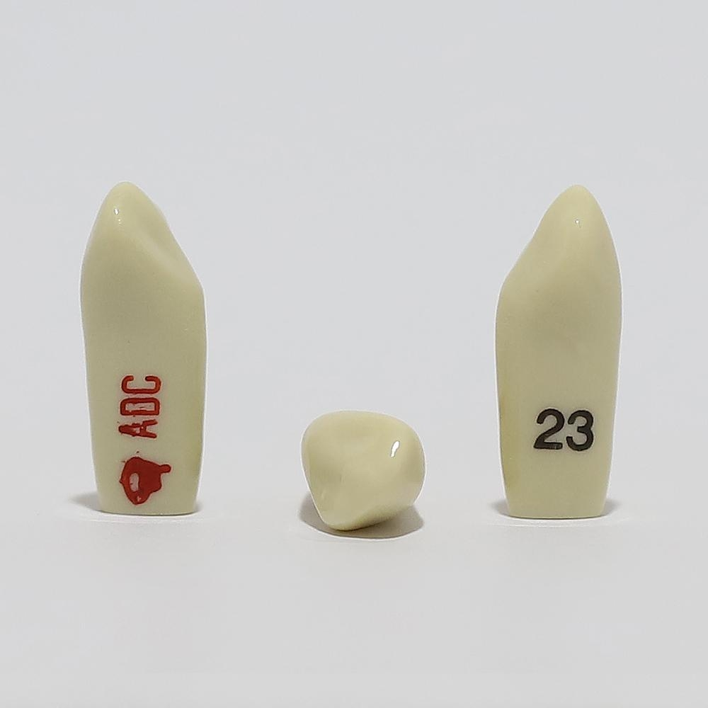 ADC Tooth 23 for ADC Model