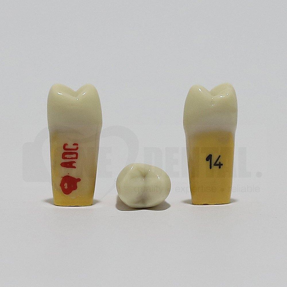 ADC Dentine Enamel 14 for ADC Model