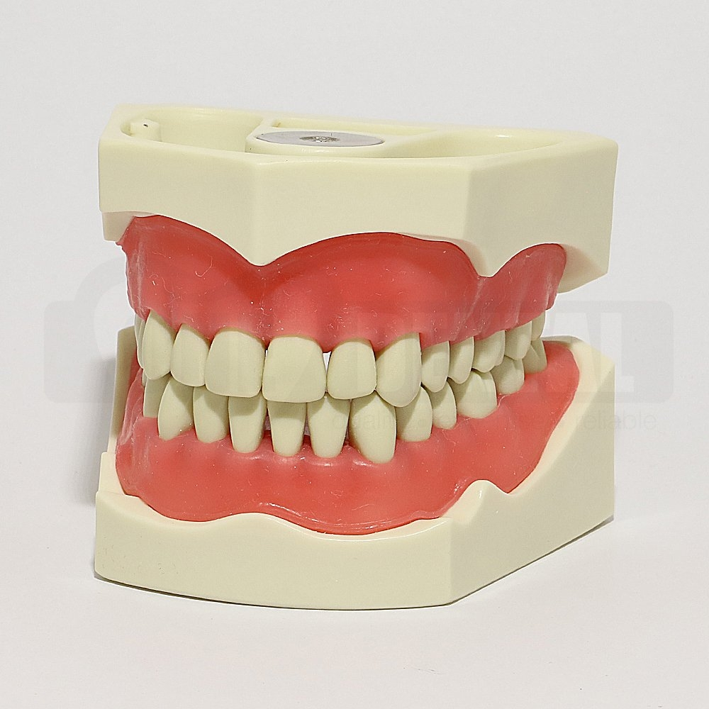 ADC Model 32 Teeth Soft Gingivae and Magnetic