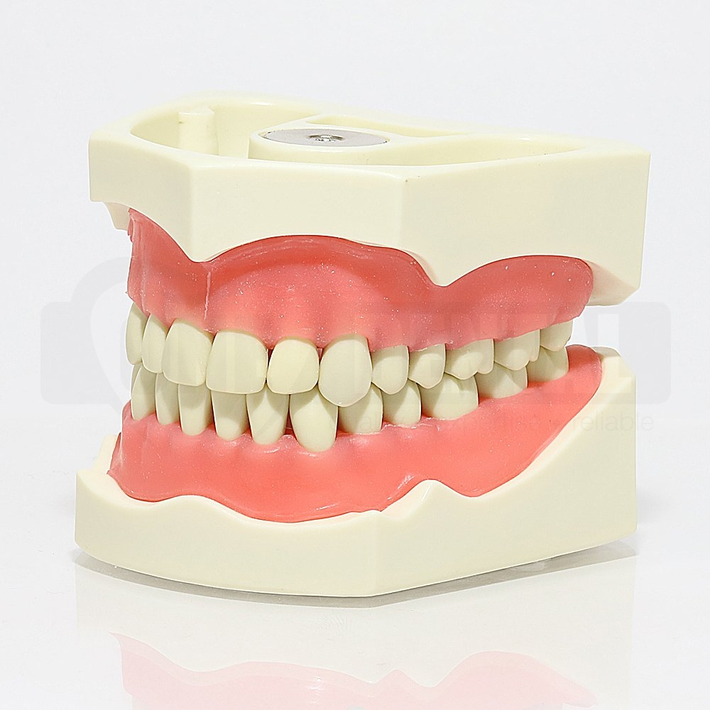 ADC Model 32 Teeth Soft Gingivae and Magnetic Ex Demo - Click for more info