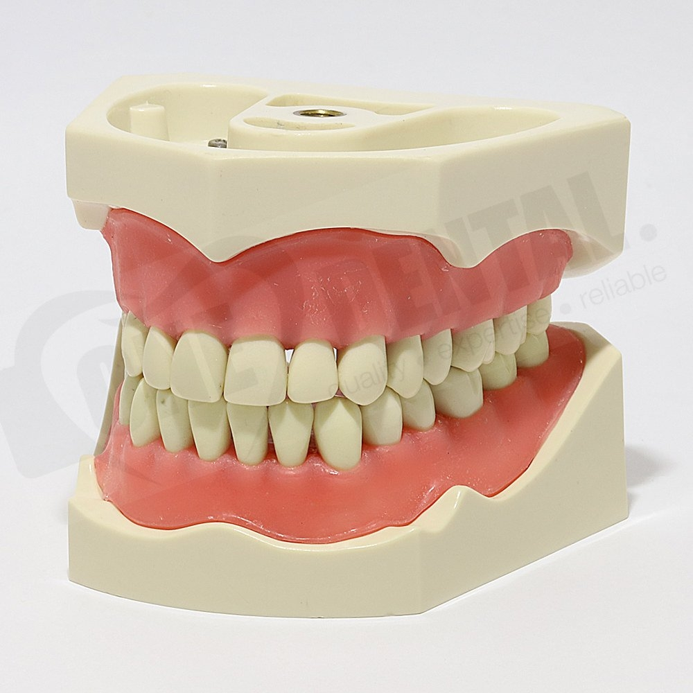 ADC Model 32 Teeth Soft Gingivae and Bushing/Thread attachment