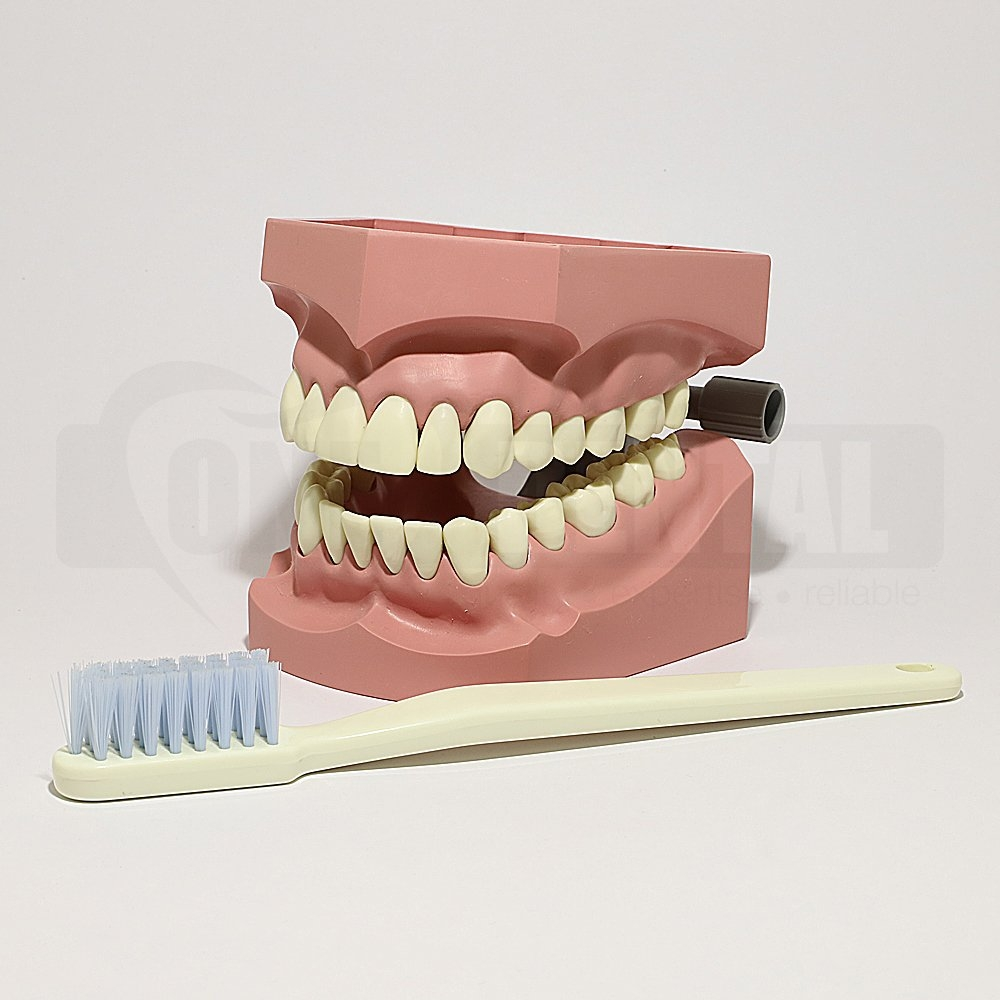Large Brushing/Floss Model