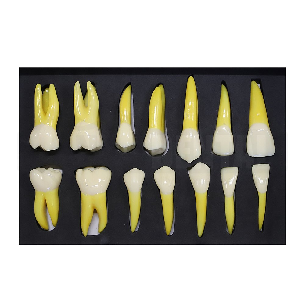 4 Times Size Tooth Morphology Set of 14 X Large Teeth Quad1 & Quad4