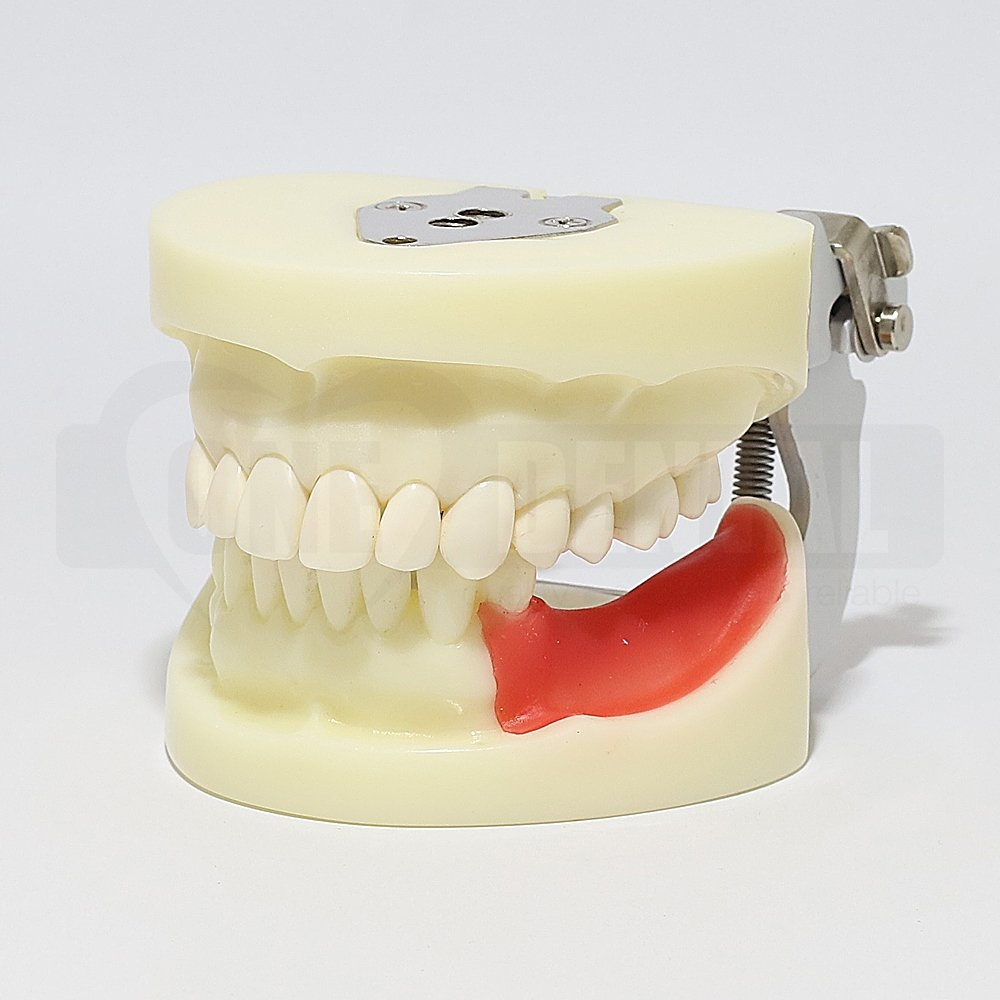 Adult Implant Training Model
