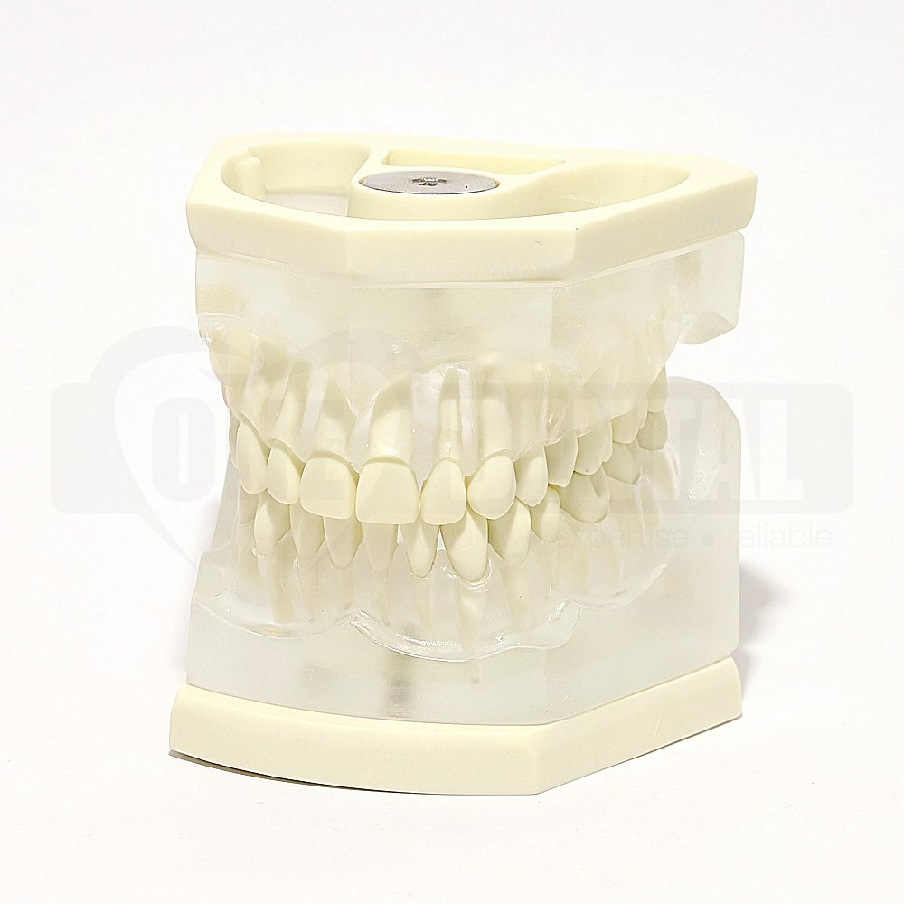 Adult Clear Extraction Model MQD With Removable Anatomical Teeth